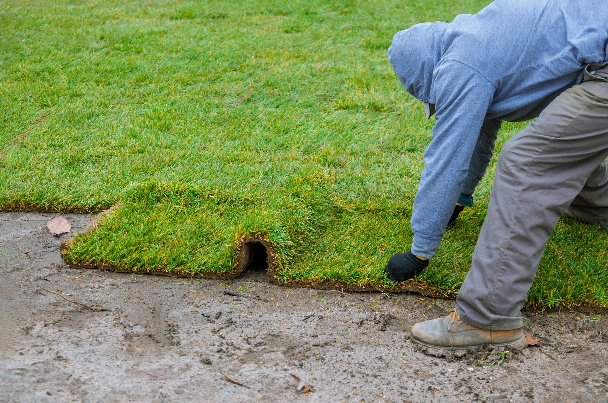 Gardener installing natural grass turf professional installer beautiful rolled sod lawn field.